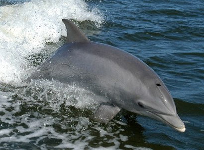 bottle-nosed dolphins'