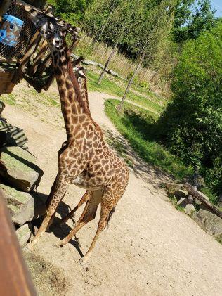 giraff2