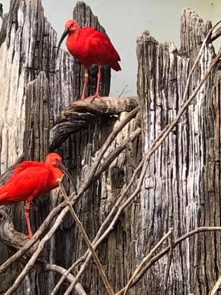 SA red birds
