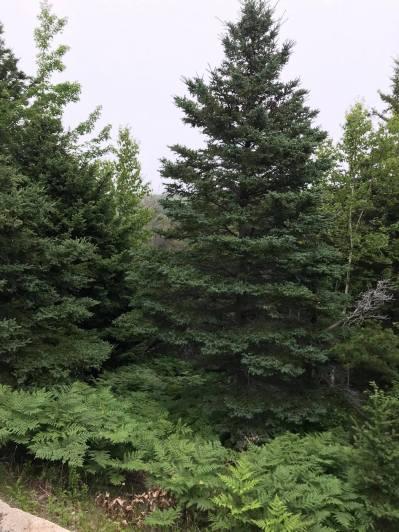 beautiful pine - shore trail 3