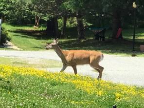Deer near hotel